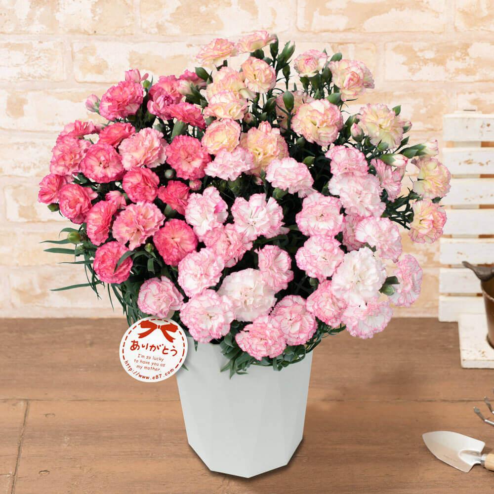 母の日 花 ギフト 鉢植え「プレミアムカーネーション パステルミックス」