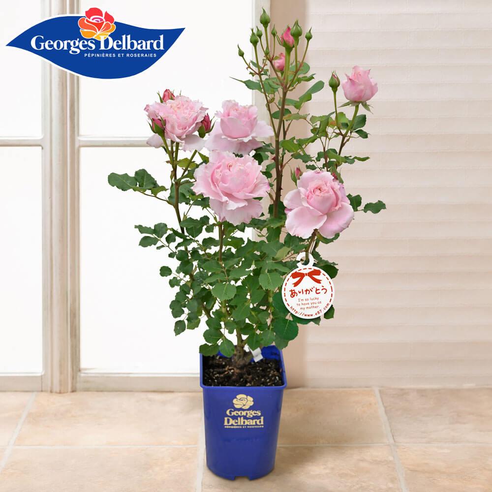 母の日 花 ギフト 鉢植え「憧れのフレンチローズ ソフィー・ロシャス」