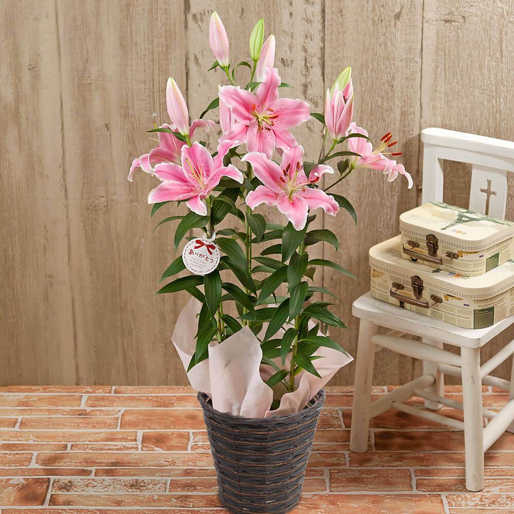 母の日 花 ギフト 鉢植え「オリエンタルリリー ソルボンヌ=甘い香りに包まれて=」