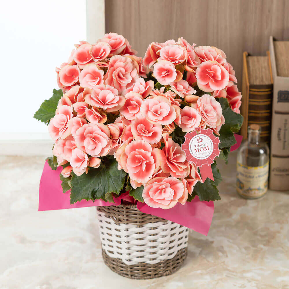 母の日 花 ギフト 鉢植え「大輪バラ咲きベゴニア ボリアス」