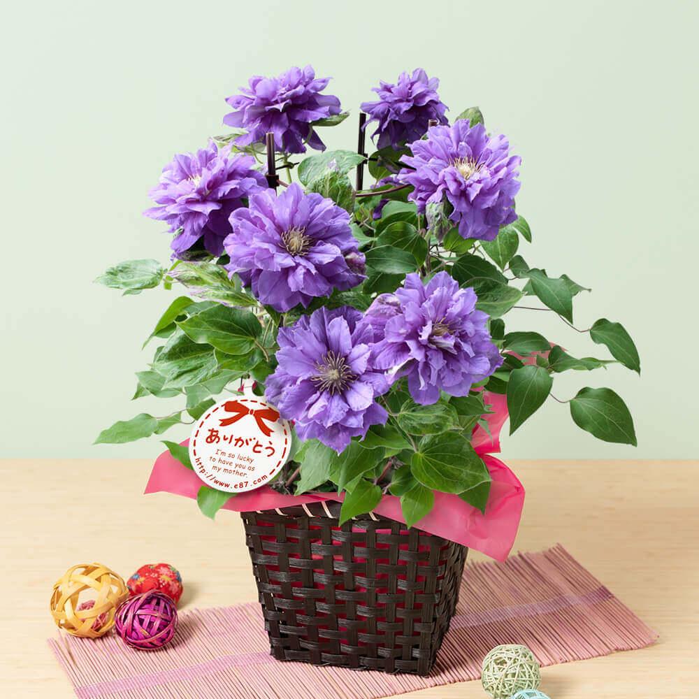 母の日 花 ギフト 鉢植え「クレマチス キリテカナワ」