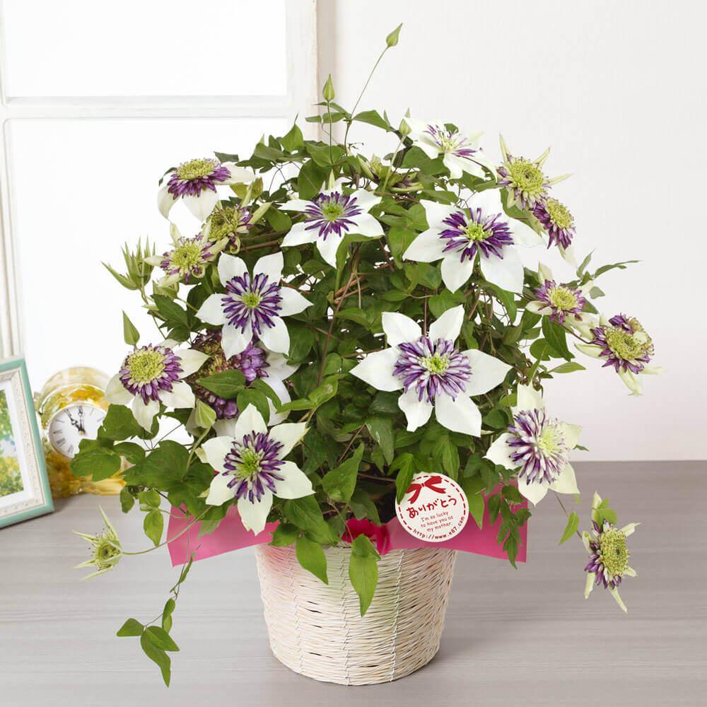 母の日 花 ギフト 鉢植え「プレミアムクレマチス ビエネッタ」