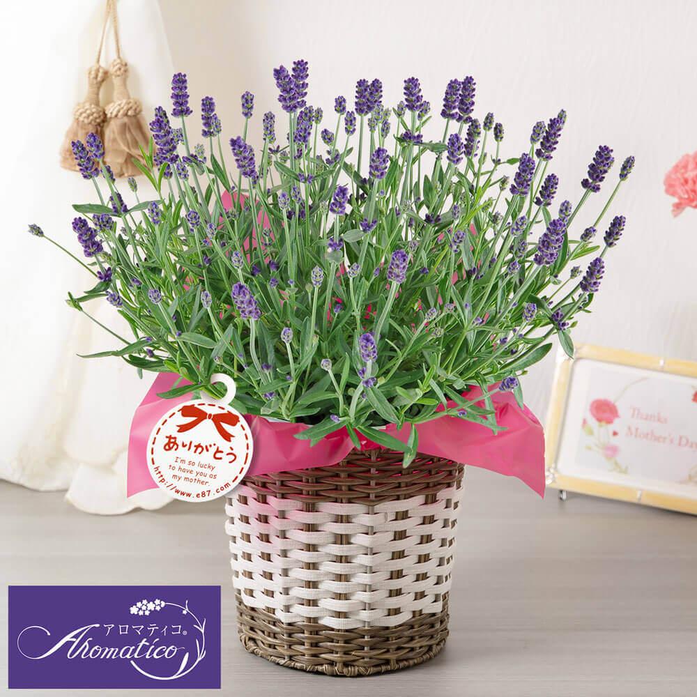 母の日 花 ギフト 鉢植え「癒しの天然アロマ ラベンダー アロマティコ(R)」