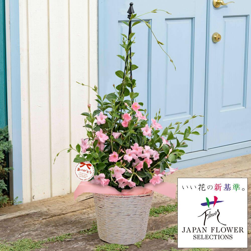 母の日 花 ギフト 鉢植え「サンパラソル パステルピンク」