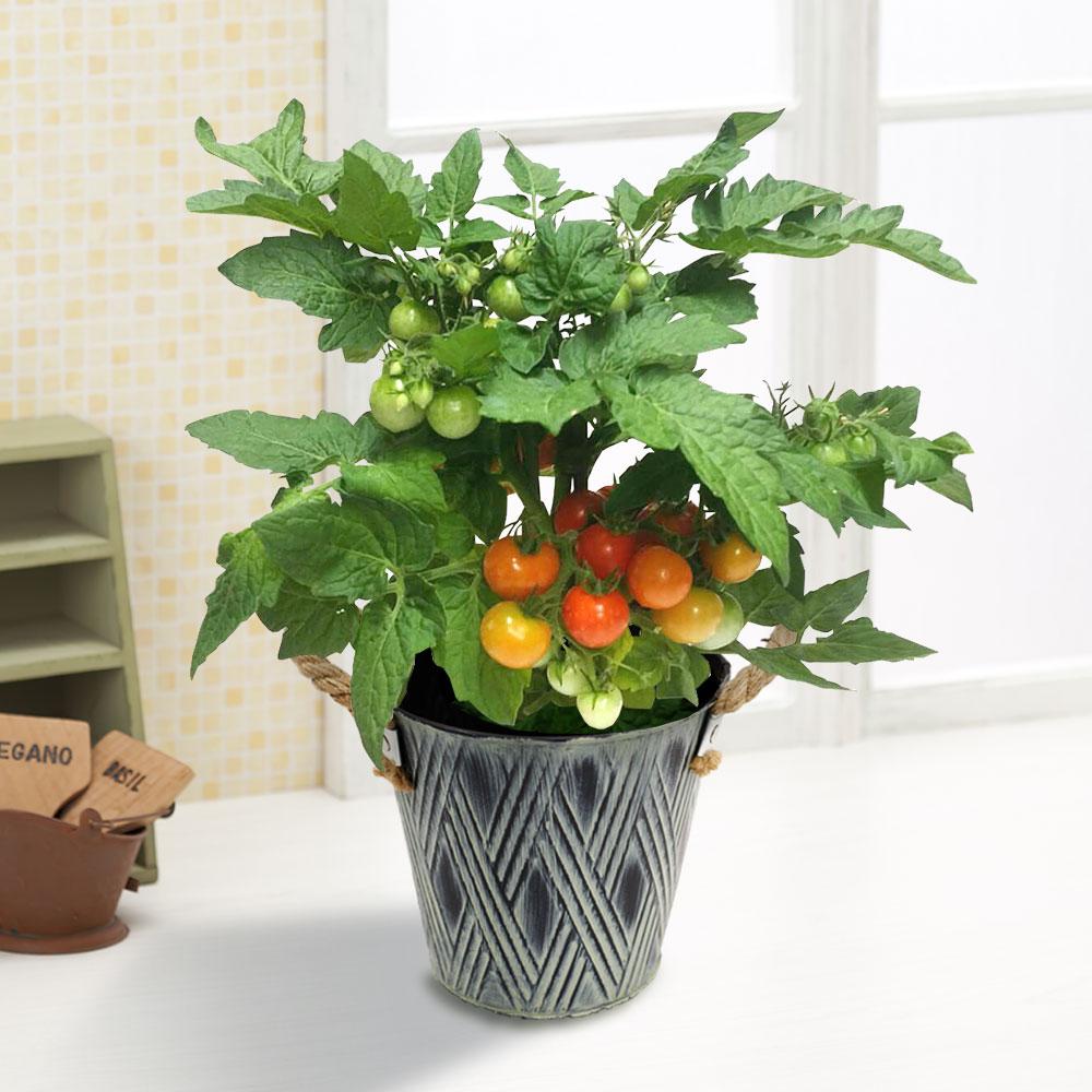 父の日/ミニトマトの鉢植え|父の日 鉢植え「ミニトマト」|イイハナ・ドットコム|育てて楽しい!食べておいしい!|フラワーギフト 花 ギフト プレゼント 贈り物 母 お父さん お義父さん お祝い おしゃれ