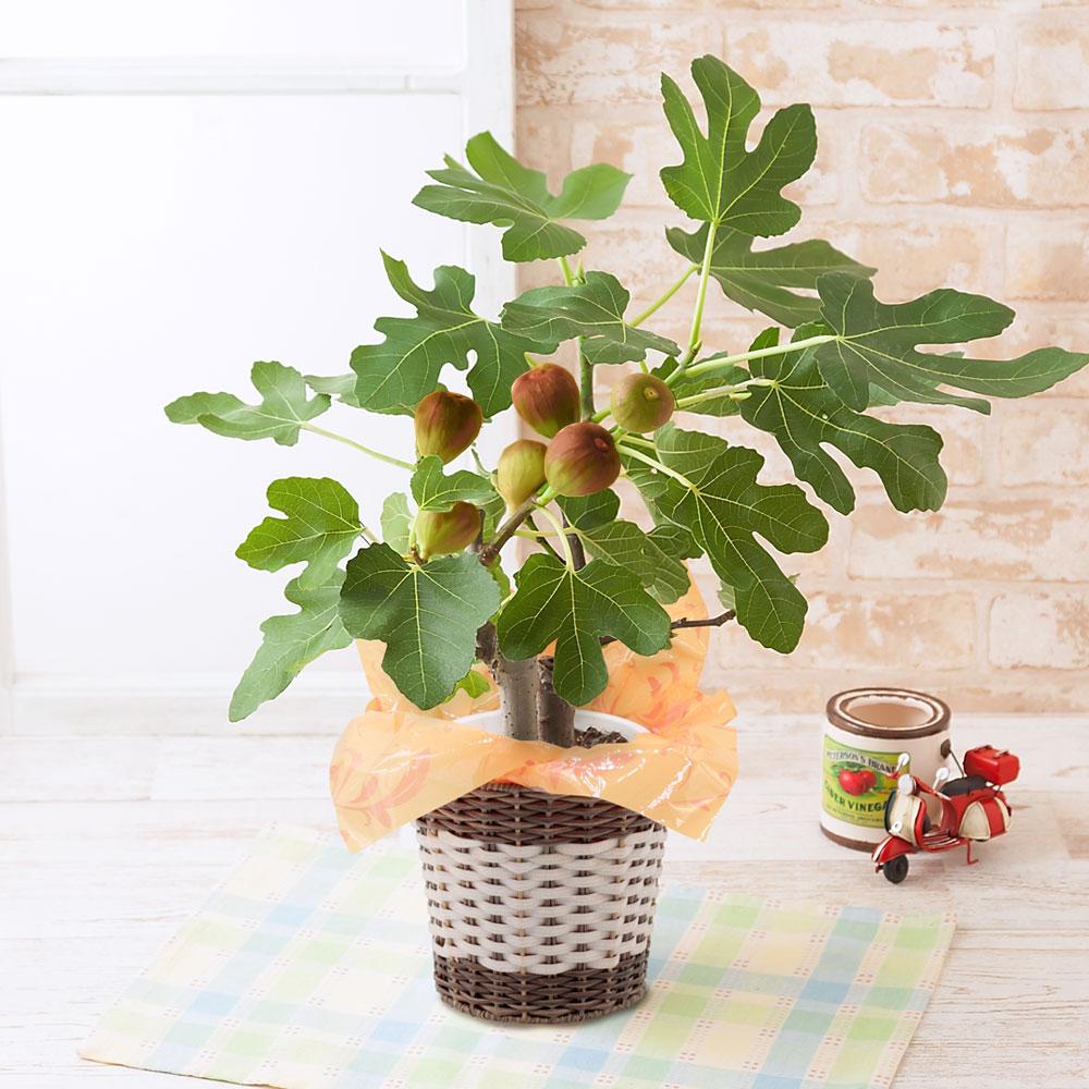 父の日 花 ギフト 鉢植え「おうち果樹園 イチジク」