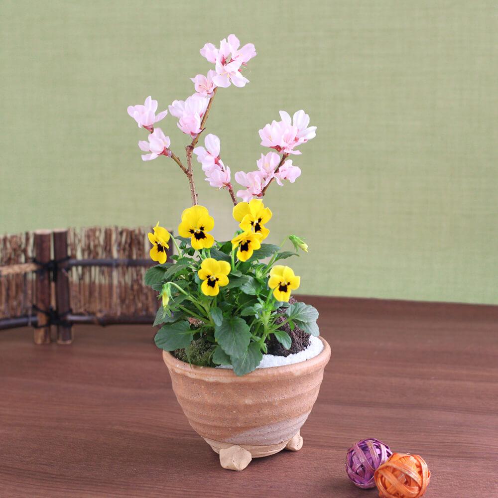 盆栽「富士に春を告げる富士桜」