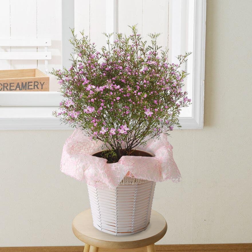 鉢植え「ボロニア ピナータ」