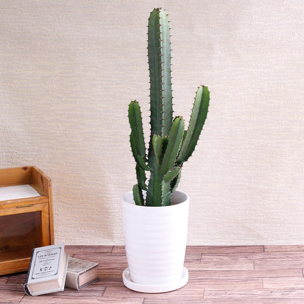 観葉植物「柱サボテン」