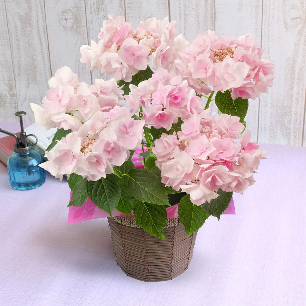 鉢植え「アジサイ ポージィブーケノーブルピンク」