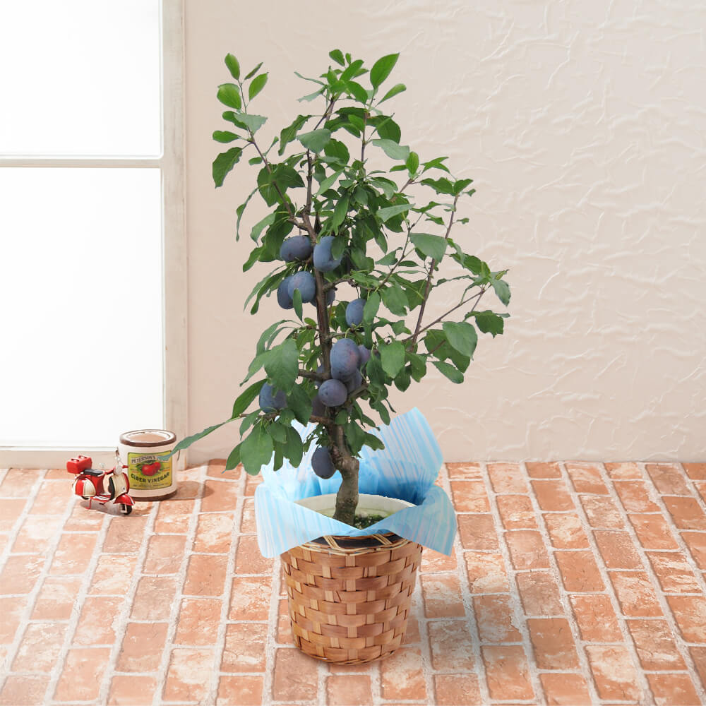 鉢植え「プルーン〜健康を気遣う思いやりギフト〜」