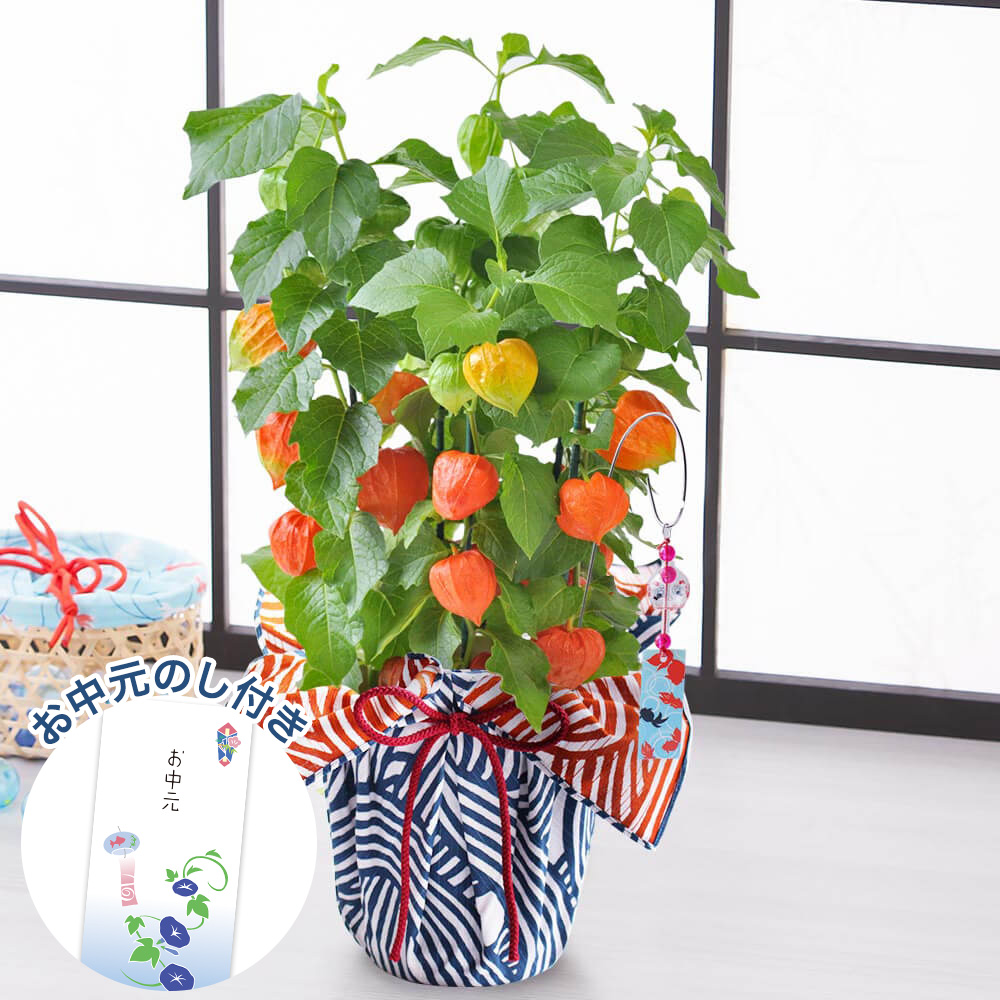 お中元 鉢植え「ほおずき〜和モダン風呂敷包み〜」