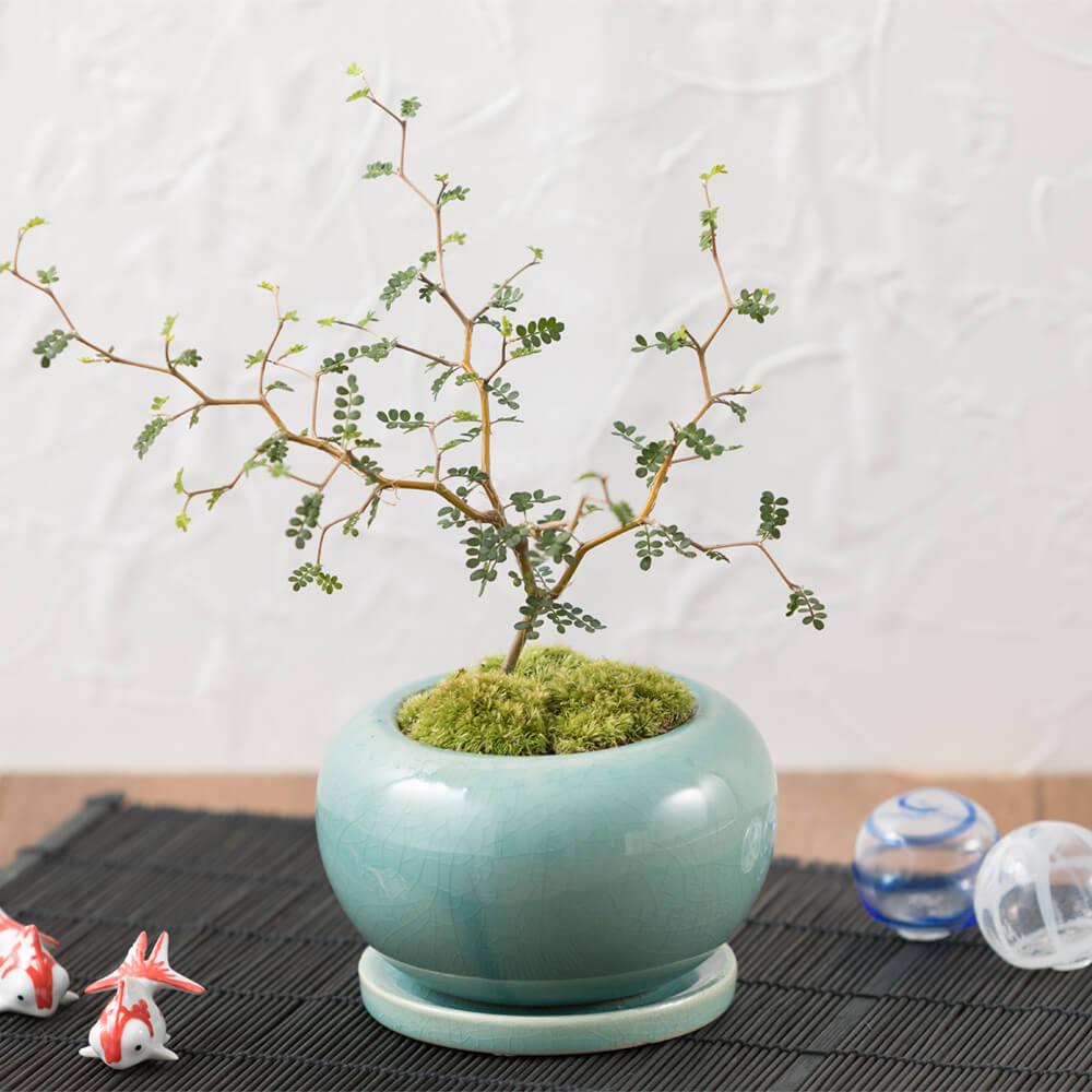 盆栽「メルヘン・ツリー」