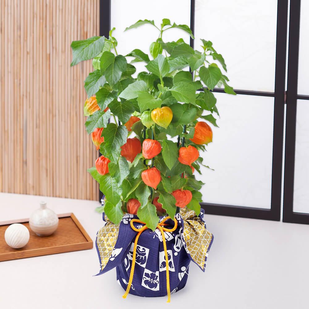 鉢植え「ほおずき〜和モダン風呂敷包み〜」
