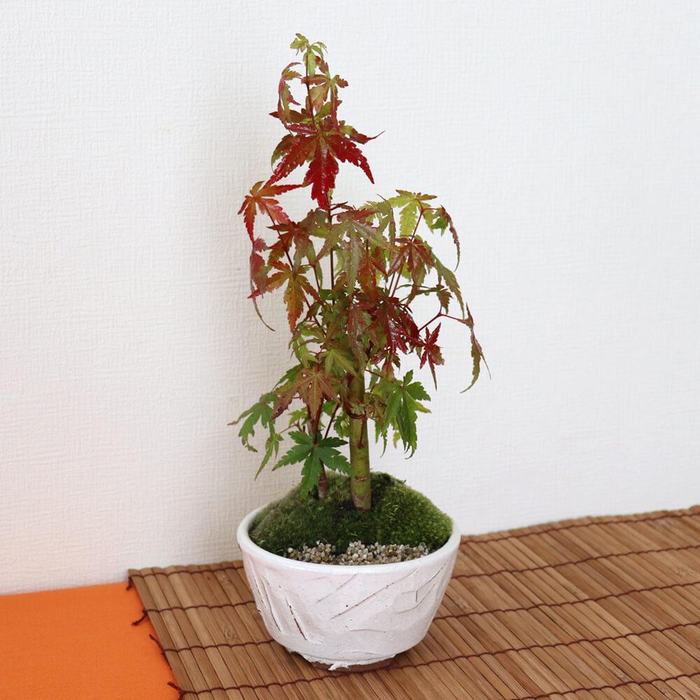 盆栽「紅葉楽しむ山モミジ」