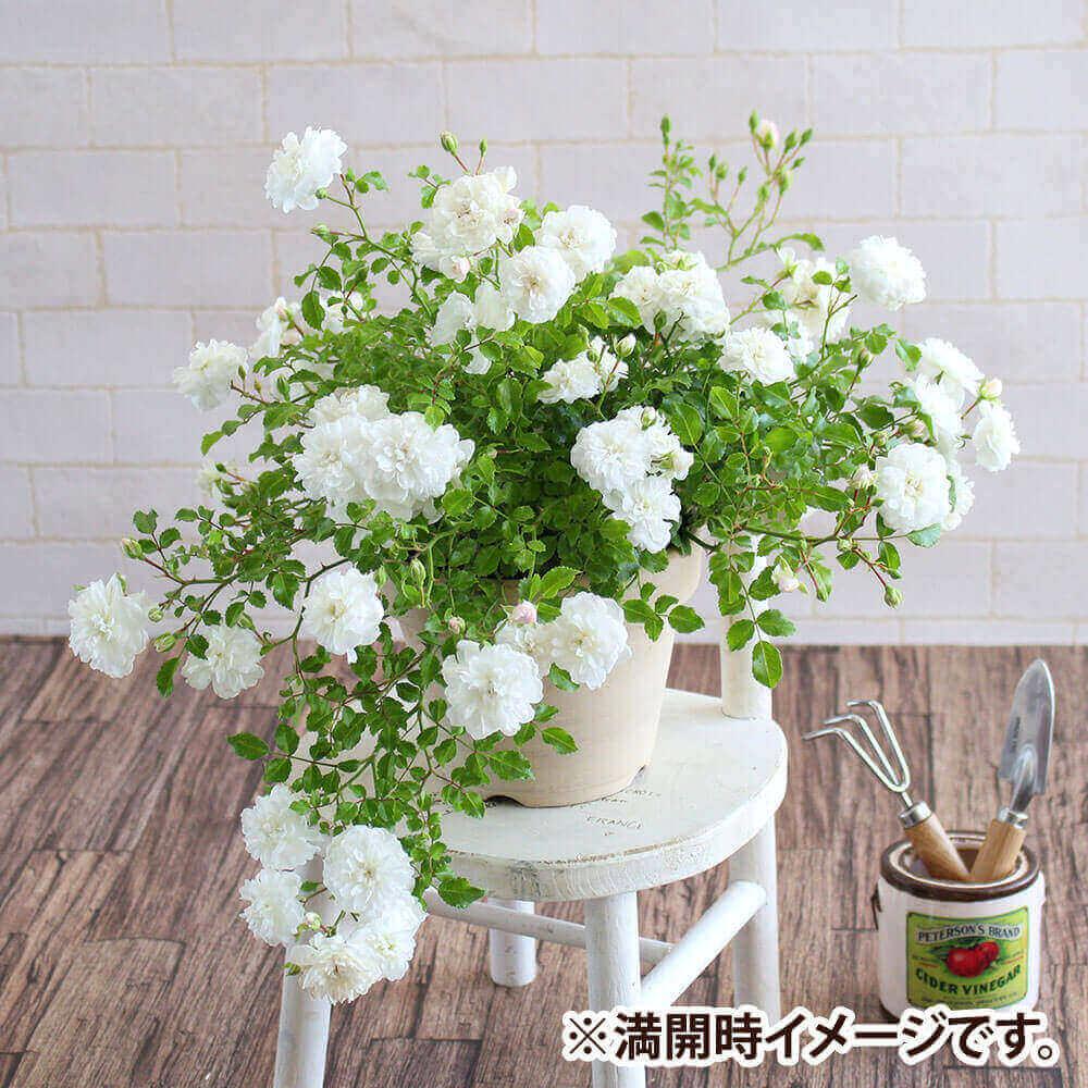 白いバラの鉢植え (5号)  鉢植え「しだれ咲きバラ スノーシャワー」 こぼれるように咲く、雪のシャワーのような可憐な白いバラ フラワーギフト 花 ギフト プレゼント 贈り物 夏ギフト お祝い メッセージ 夏の花 挨拶ギフト ひまわり ほおずき ブーゲンビ