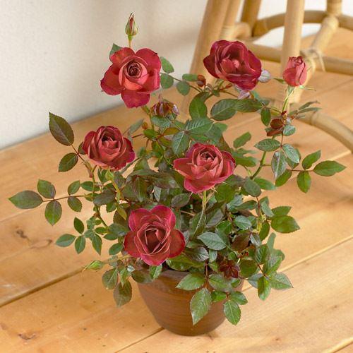 e87.com(千趣会イイハナ)バラの鉢植え/茶色味がかったクラシックなスタイル|バラ鉢植え「コーヒーオベーション」|その名の通り、コーヒーのようなブラウンカラーのシックなバラ|フラワーギフト 花 ギフト プレゼント 贈り物 お祝い メッセージ 誕生日 記念日 結婚 送別 お見舞い お返し 出産|イイハナ・ドットコム