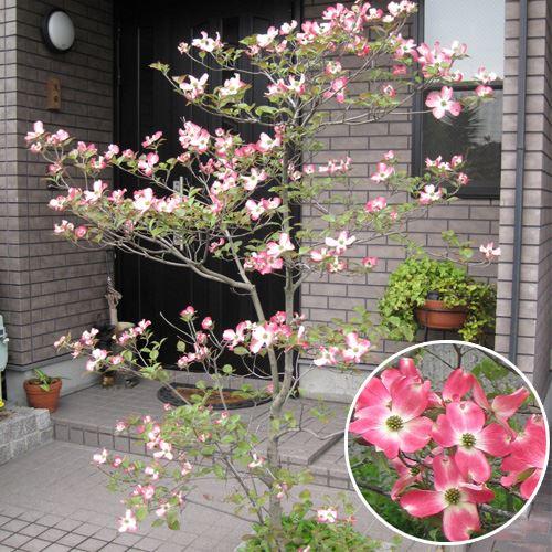 記念樹・シンボルツリー「ハナミズキ」L