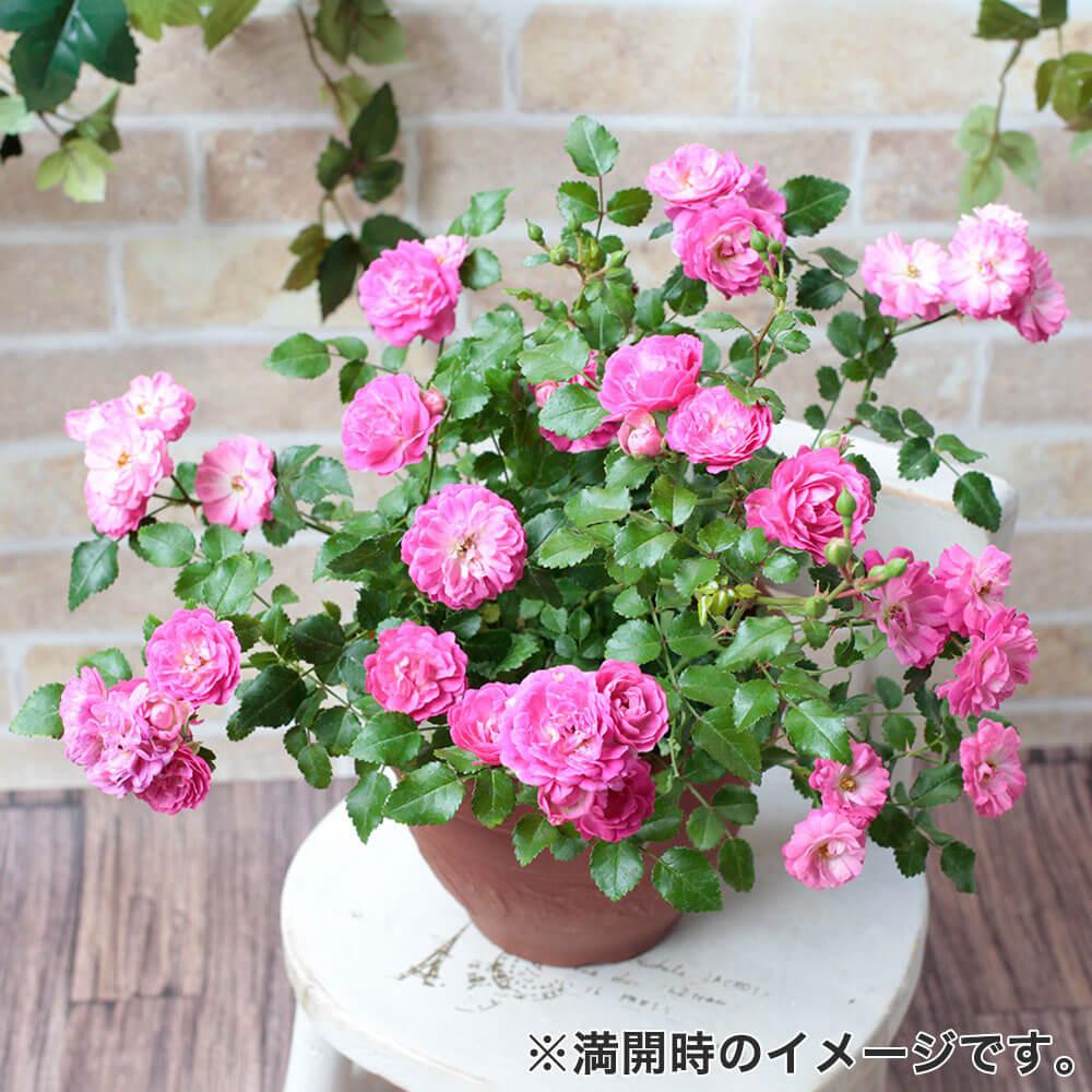 鉢植え「バラ ハッピートレイルズ」