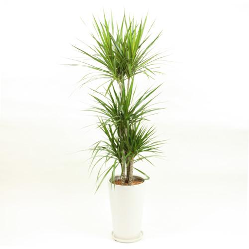 観葉植物「ドラセナ・コンシンネ」7号