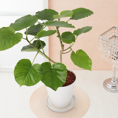 観葉植物「フィカス・ウンベラータ」6号
