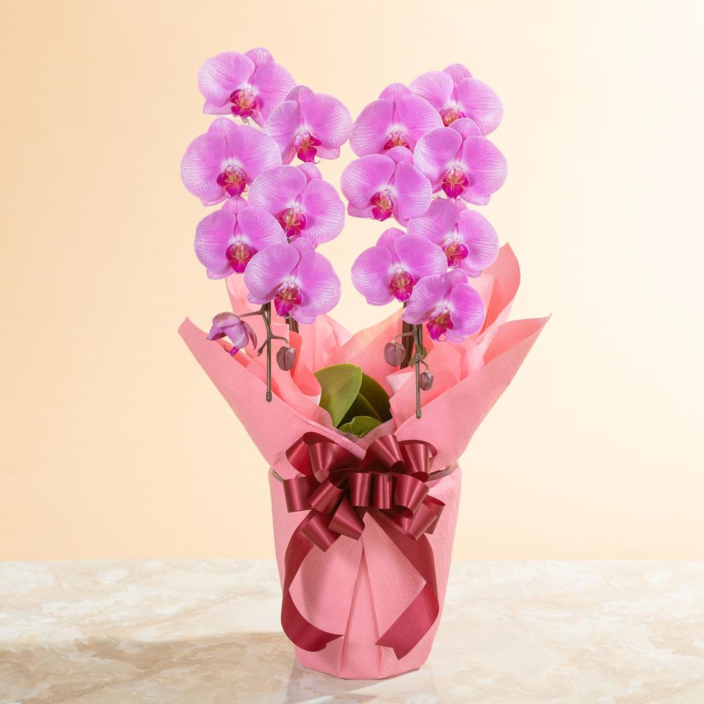 鉢植え「大輪胡蝶蘭2本立ち(ピンク)」
