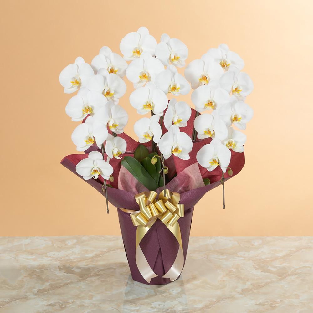 品格のある胡蝶蘭(白)高級感のある3本立ち|鉢植え「大輪胡蝶蘭3本立ち(白)〜スタンダードクラス〜」|イイハナ・ドットコム|品格のある花を贈りたい…ご用途に合わたラッピングサービス付き|フラワーギフト、花、お祝い、誕生日、記念日、結婚、プレゼント、贈り物、送別、お見舞い、お返し、出産、お供え