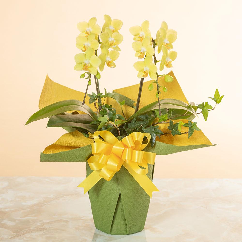 鉢植え「ミディー胡蝶蘭2本立ち(黄色)」