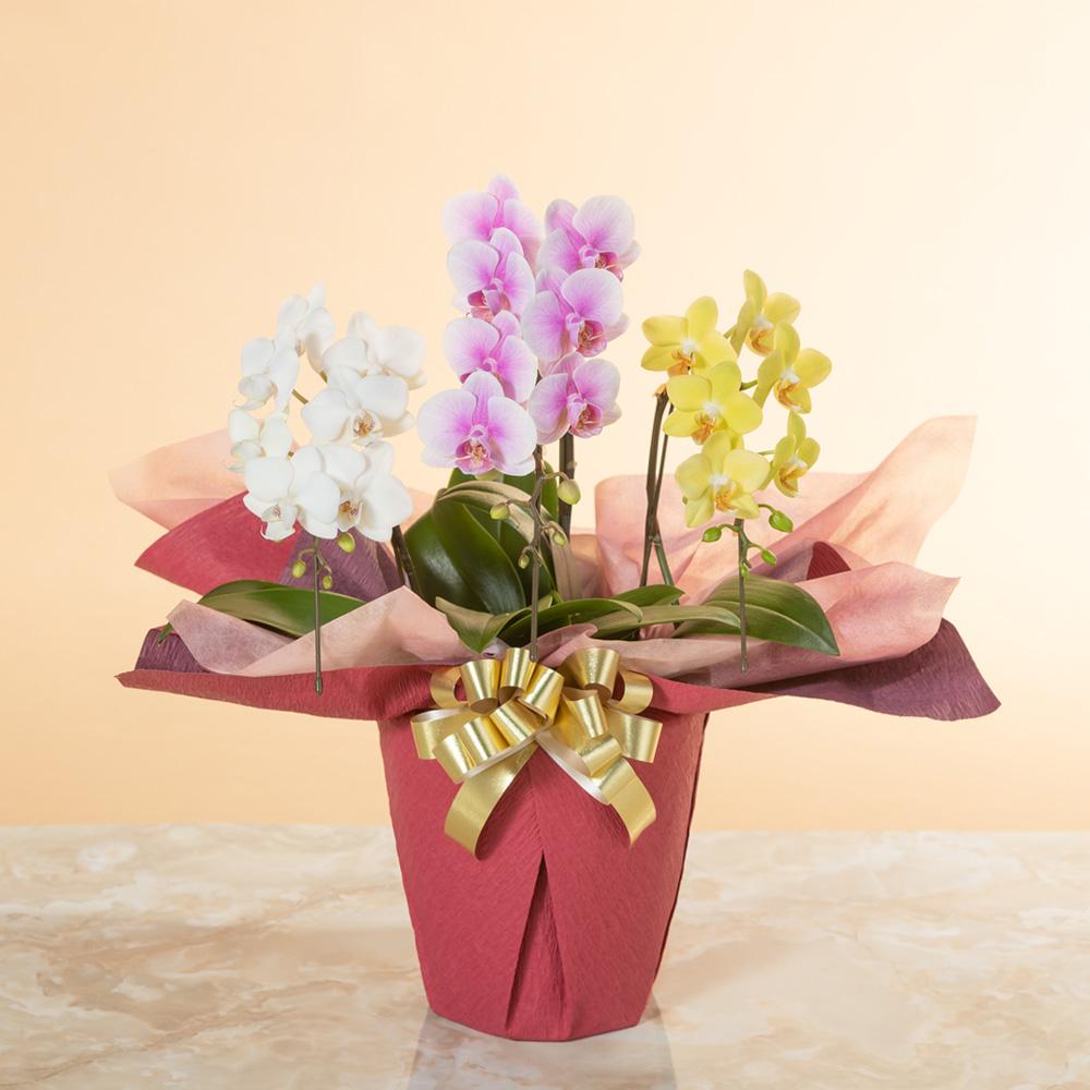 お手頃サイズの胡蝶蘭(ミックス)高級感のある3本立ち|鉢植え「ミディー胡蝶蘭3本立ち(ミックス)」|イイハナ・ドットコム|ミディー胡蝶蘭だからこそ!カラフルミックス|フラワーギフト、花、お祝い、誕生日、記念日、結婚、プレゼント、贈り物、送別、お見舞い、お返し、出産