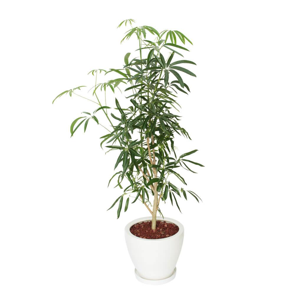 観葉植物「シェフレラ8号 陶器鉢」