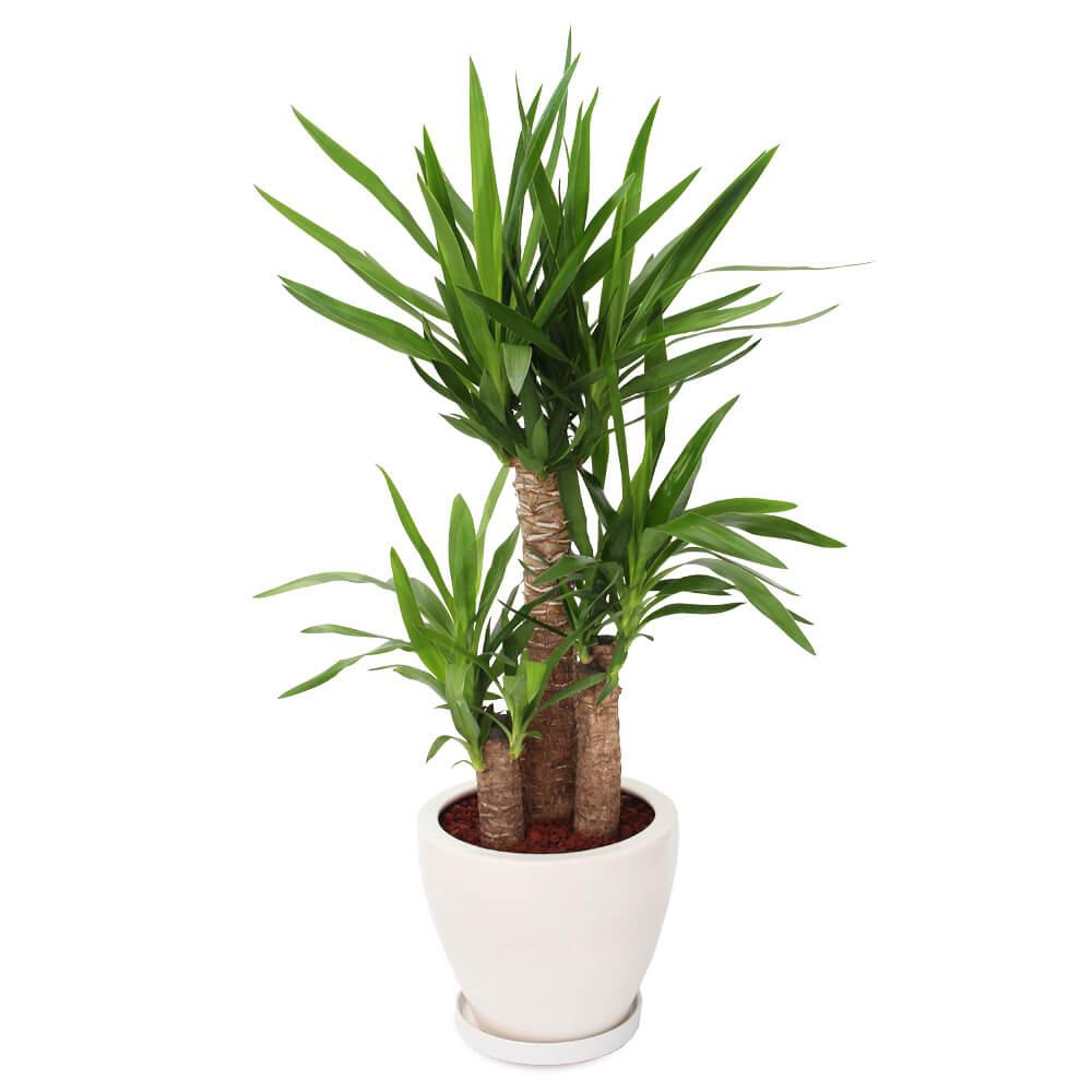 観葉植物「ドラセナ・ユッカ8号 陶器鉢」