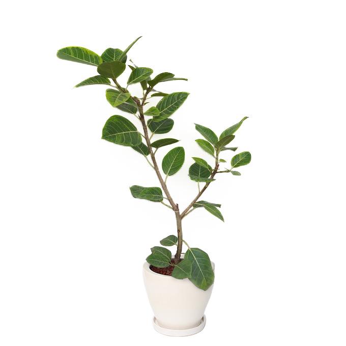 観葉植物「フィカス・アルテシマ8号 陶器鉢」