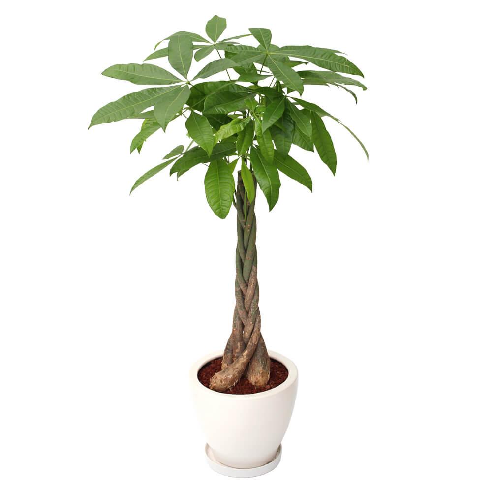 観葉植物「パキラ8号 陶器鉢」