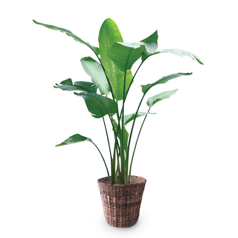 観葉植物「オーガスタ10号 バスケット」