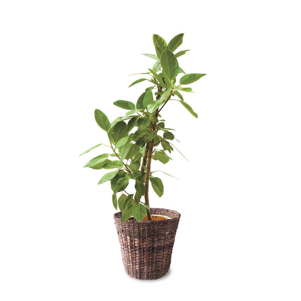 観葉植物「フィカス・アルテシマ10号 バスケット」