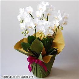 ミディー胡蝶蘭3本立ち(白)