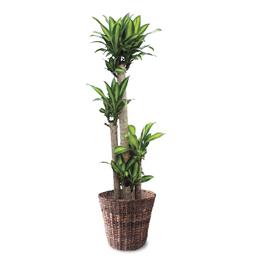 観葉植物「ドラセナ・マッサンゲアナ」10号