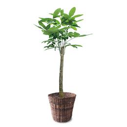 観葉植物「パキラ」10号