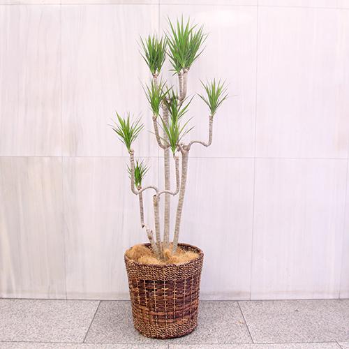 観葉植物「ドラセナ・コンシンネ」10号