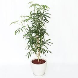 観葉植物「シェフレラ・アンガスティフォリア」8号