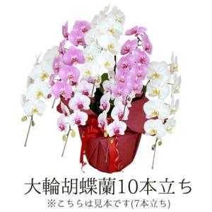 鉢植え「大輪胡蝶蘭10本立ち(ミックス)」