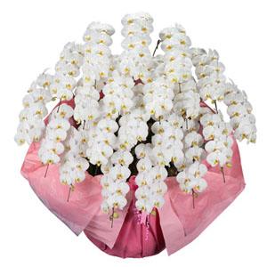 鉢植え「大輪胡蝶蘭20本立ち(白)」