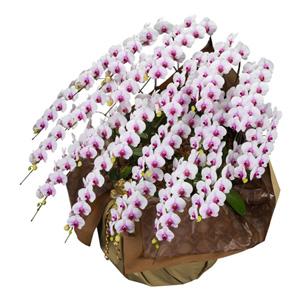 鉢植え「大輪胡蝶蘭20本立ち(赤リップ)」
