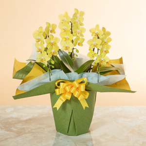 鉢植え「ミディー胡蝶蘭3本立ち(黄色)」