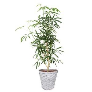 観葉植物「シェフレラ8号 バスケット」