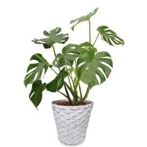 観葉植物「モンステラ8号 バスケット」