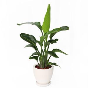 観葉植物「オーガスタ8号 陶器鉢」