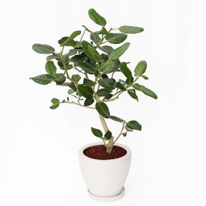 観葉植物「フィカス・ベンガレンシス8号 陶器鉢」