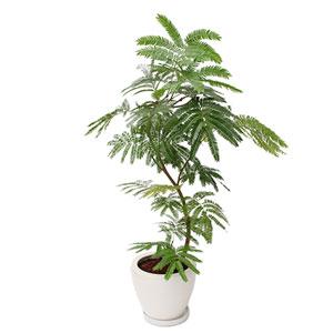 観葉植物「エバーフレッシュ8号 陶器鉢」