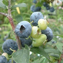 【自宅で楽しむ】「フルーツ栽培キット(ブルーベリー